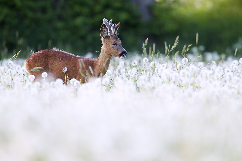 Rehbock Jaehrling mit Bastgehoern aest auf einer Pusteblumenwiese  -  (Europaeisches Reh - Rehwild), Capreolus capreolus  -  Taraxacum officinale, Roebuck yearling with velvet-covered antlers browses on a meadow with blowballs  -  (European Roe Deer - Western Roe Deer)