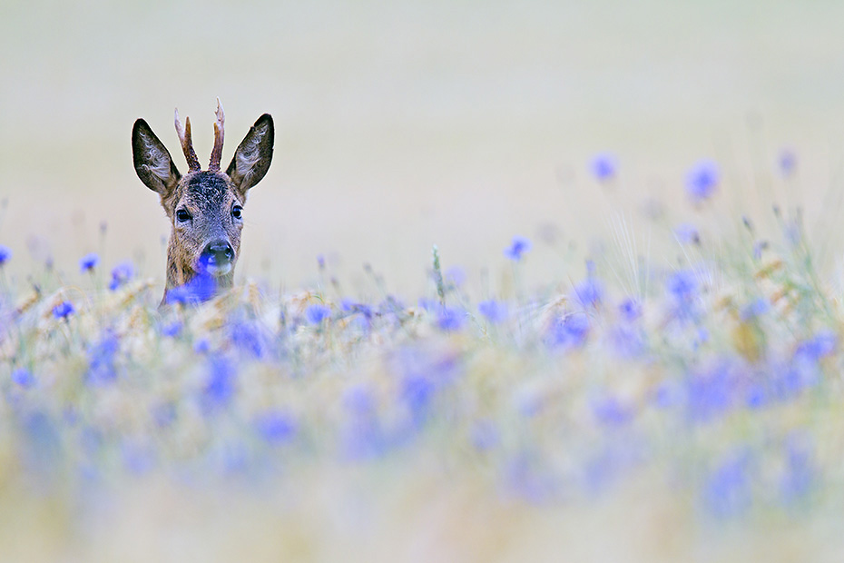 Reh, die Kitze werden Ende April und im Mai geboren  -  (Rehwild - Foto Rehbock Jaehrling in einem Gerstefeld mit bluehenden Kornblumen), Capreolus capreolus, European Roe Deer, the fawns are born in April and May  -  (Roe Deer - Photo Roebuck yearling in a barley field with blooming cornflowers)
