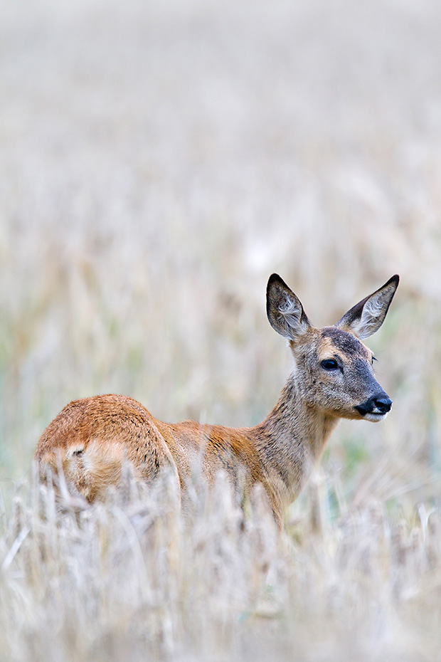 Reh, ab Mitte Juli bis Mitte August findet die Paarungszeit statt, der Jaeger nennt diesen Zeitraum BLATTZEIT  -  (Rehwild - Foto Ricke in einem Gerstefeld), Capreolus capreolus, European Roe Deer, in July and August is the mating season  -  (Chevreuil - Photo Roe Deer doe in a barley field)