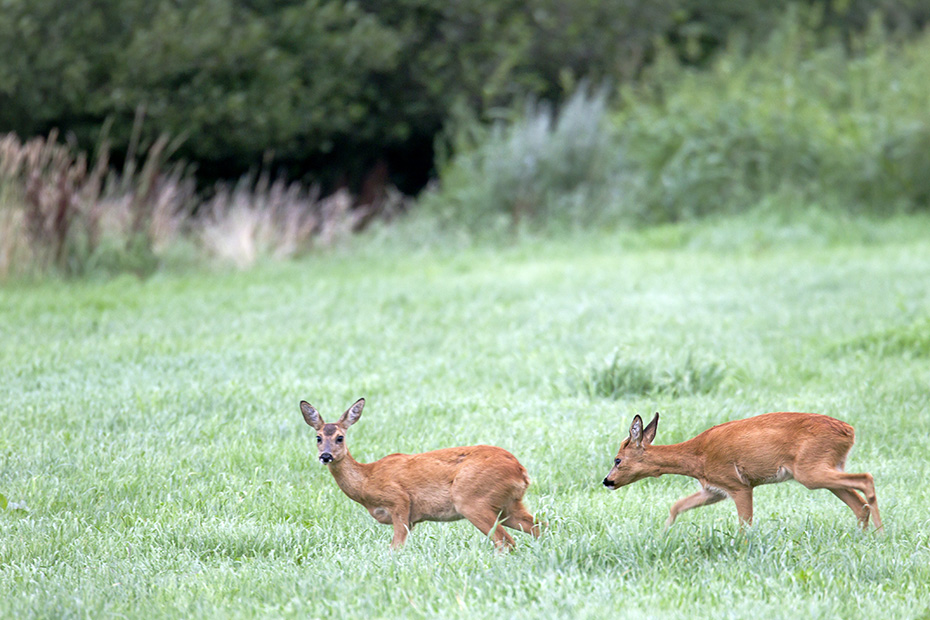 Der Knopfbock versucht die Gunst der Stunde zu nutzen und verfolgt eine Ricke um sich zu paaren, Capreolus capreolus, The young Roebuck tries to seize the moment and pursues a doe to mate