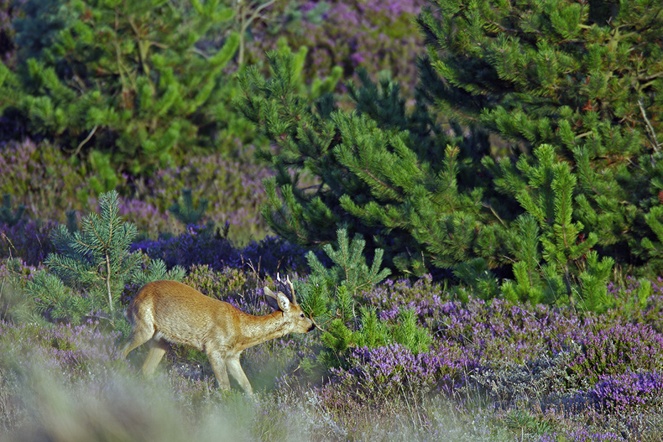 Ein Rehbock in bluehender Heidelandschaft auf Nahrungssuche, Capreolus capreolus, A Roebuck in blooming heath in search of food
