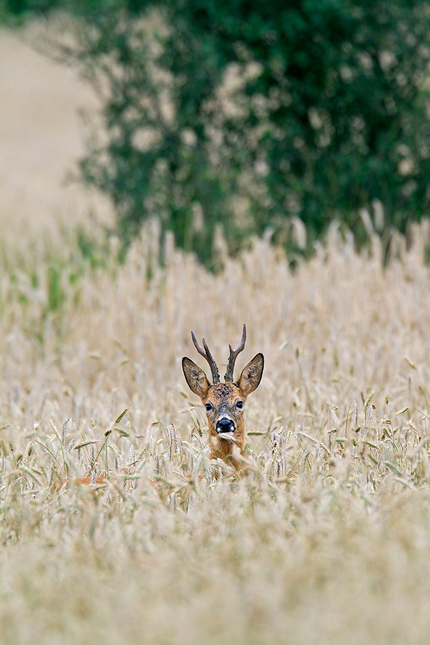 Reh, das Geweih der Rehboecke ist bei vielen Jaegern eine beliebte Jagdtrophaee  -  (Rehwild - Foto Rehbock in einem Roggenfeld), Capreolus capreolus, European Roe Deer, the antlers are a popular hunting trophy  -  (Roe- Photo Roebuck in a rye field)