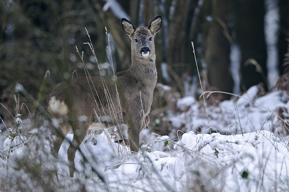 Rehbock mit frisch abgeworfenem Gehoern im Winter  -  (Europaeisches Reh - Rehe), Capreolus capreolus, Roebuck in winter has shed its antlers  -  (European Roe Deer - Western Roe Deer)