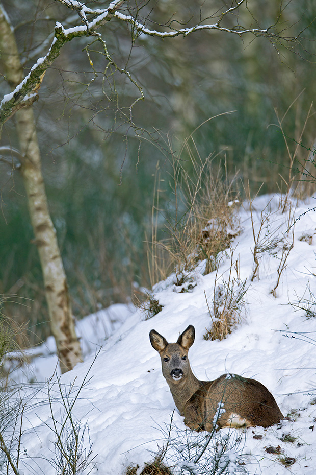 Rehe ernaehren sich von Graesern, Blaettern, Beeren und Fruechten, jungen Trieben und einer Vielzahl anderer Pflanzen  -  (Europaeisches Reh - Foto Ricke im Winter), Capreolus capreolus, European Roe Deer, they feed on grass, berries and fruits, young shoots, leaves and a lot of another plants  -  (Chevreuil - Photo Roe Deer doe in winter)