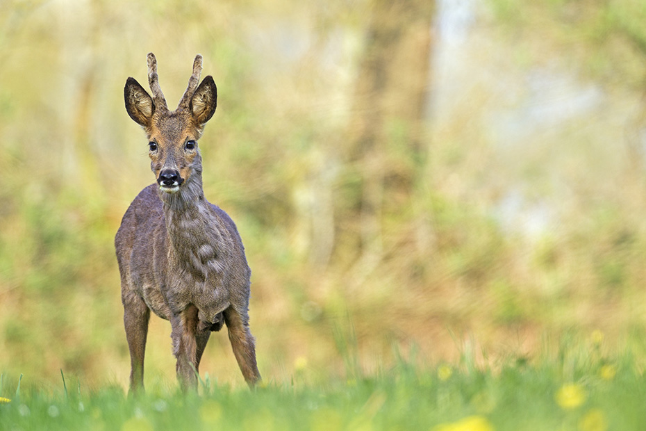 Rehe sind eine haeufige und weitverbreitete Tierart in vielen Regionen Europas  -  (Europaeisches Reh - Foto Rehbock Jaehrling aeugt aufmerksam), Capreolus capreolus, European Roe Deer is widespread and common in many parts of Europe  -  (Western Roe Deer - Photo Roebuck yearling attentively looking)