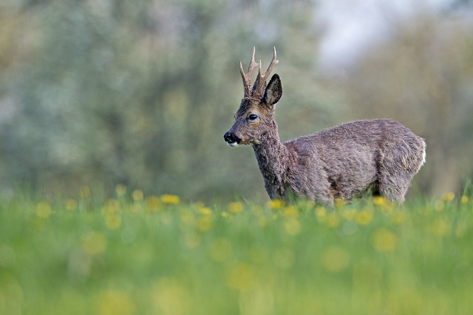 Reh, das Vorkommen in Europa reicht vom Mittelmeerraum bis Skandinavien und von Grossbritannien bis zum Kaukasus  -  (Rehwild - Foto Rehbock im Spaetfruehling), Capreolus capreolus, European Roe Deer is found in Europe from the Mediterranean to Scandinavia and from Britain to the Caucasus  -  (Western Roe Deer - Photo Roebuck in late spring)