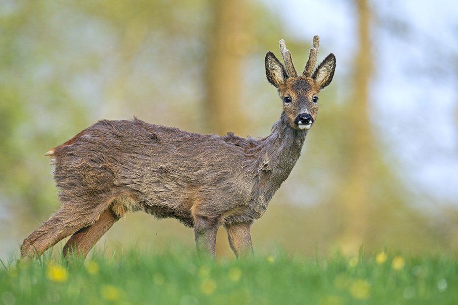 Reh, die Tragzeit endet nach 10 Monaten, inklusive einer mehrere Monate andauernden Eiruhe  -  (Rehwild - Foto Rehbock auf einer Aesungsflaeche), Capreolus capreolus, European Roe Deer, the gestation period is 10 months  -  (Roe Deer - Photo Roebuck browses on a meadow)