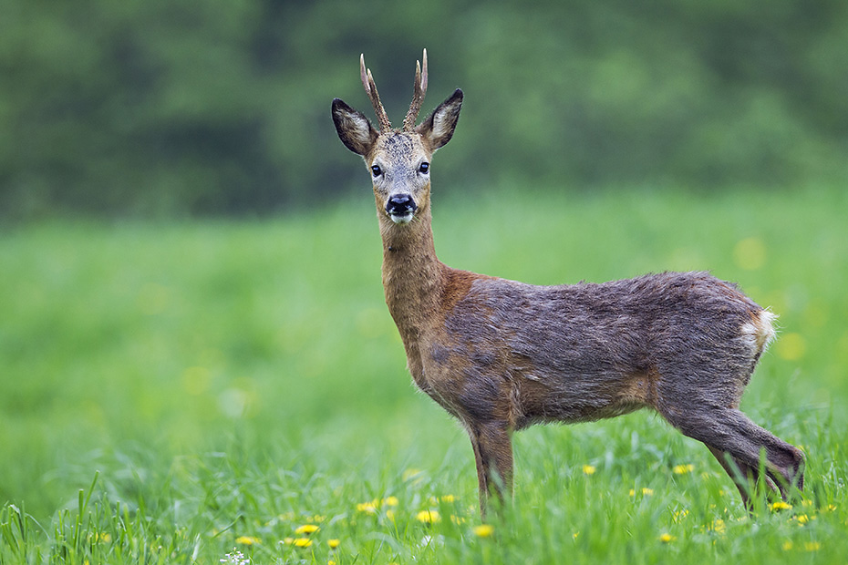 Rehbock verliert das Winterfell, deutlich ist das roetliche Sommerfell zu erkennen, Capreolus capreolus, Roebuck shed its fur, the red summer coat is clearly visible