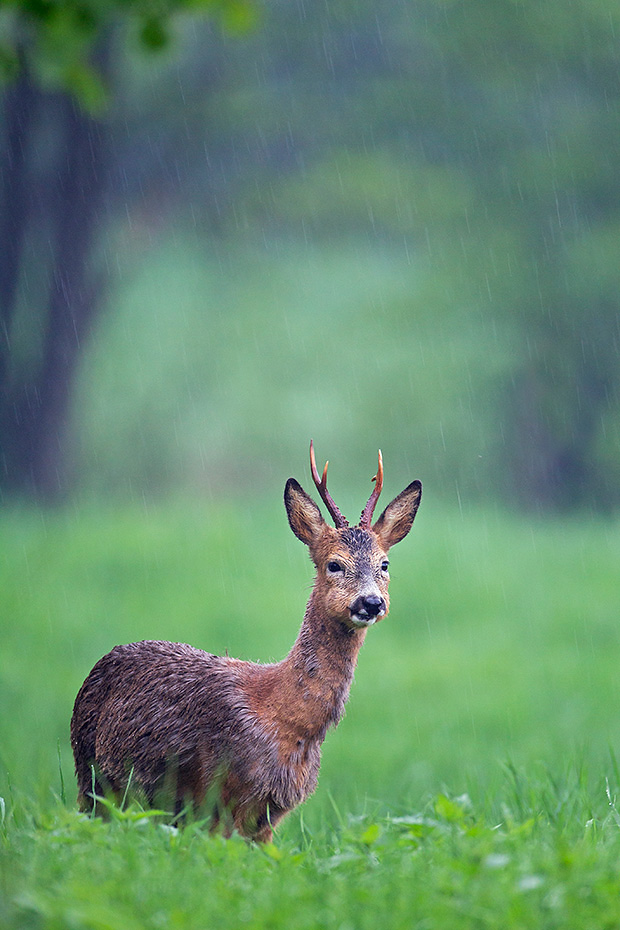 Reh, sicher belegt ist in freier Wildbahn ein Alter von 17,2 Jahren bei einem markierten Rehbock  -  (Europaeisches Reh - Foto Rehbock im stroemenden Regen), Capreolus capreolus, European Roe Deer in one case a male reach an age of 17,2 years in the wild  -  (Western Roe Deer - Photo Roebuck in heavy rain)