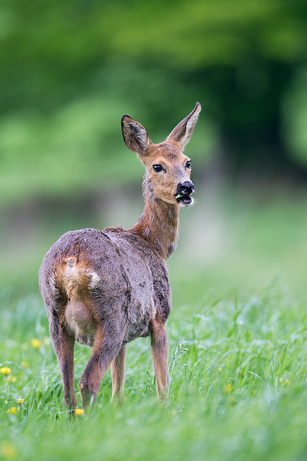 Eine Ricke mit deutlich sichtbarem Gesaeuge, vom Jaeger Spinne genannt  -  (Europaeisches Reh - Reh), Capreolus capreolus, Roe Deer doe with clearly visible teats  -  (European Roe Deer - Western Roe Deer)