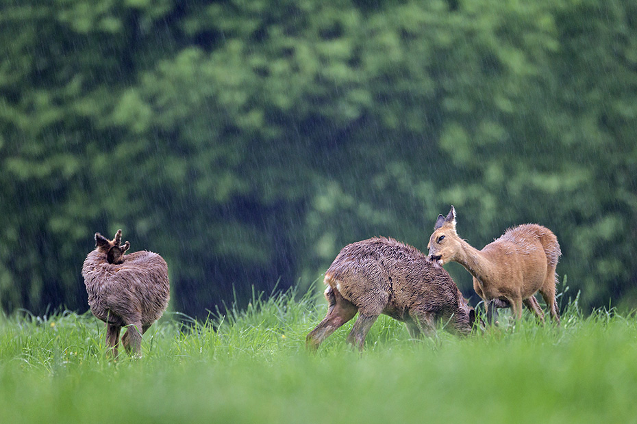 Fellpflege bei Rehgeschwistern zwischen Schmalreh und Jaehrling im Regen, Capreolus capreolus, Roe Deer sibs grooming between yearling and doe in heavy rain