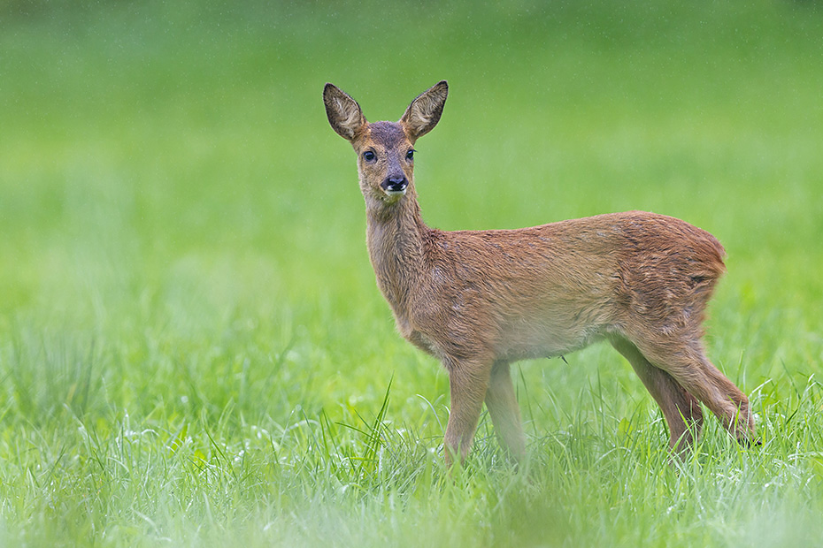 Rehkitz im Regenschauer auf einer Waldwiese, Capreolus capreolus, Roe Deer fawn in a rain shower on a forest meadow