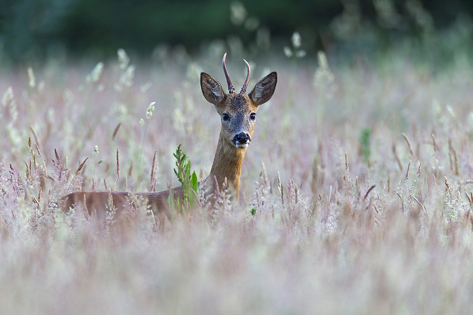 Reh, die Maennchen werden im zweiten Lebensjahr Jaehrlinge genannt  -  (Foto Rehbock Jaehrling), Capreolus capreolus, Roe Deer in their second year, the male is called yearling  -  (Photo Roebuck cricket)