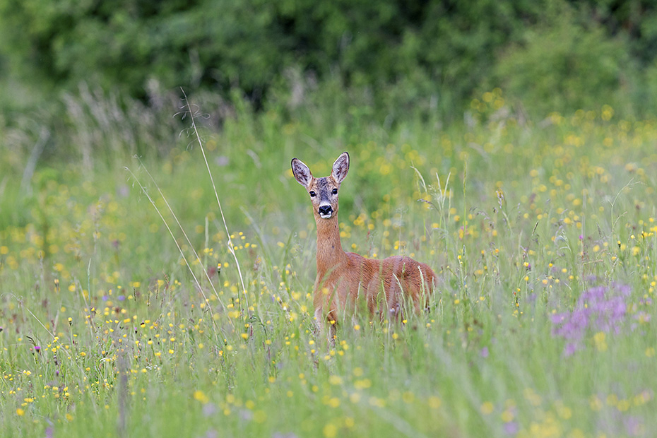 Eine Ricke auf einer der wunderschoenen Bergwiesen in der Hohen Tatra in der Slowakei, Capreolus capreolus, A female Roe Deer on one of the beautiful mountain meadows in the High Tatra in Slovakia