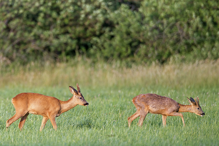 Als ein dritter aelterer Rehbock auf die Wiese zieht, wechseln die Jaehrlinge gemeinsam in den Einstand, Capreolus capreolus, When a third older Roebuck moves to the meadow, the yearlings leave the field together and look for cover