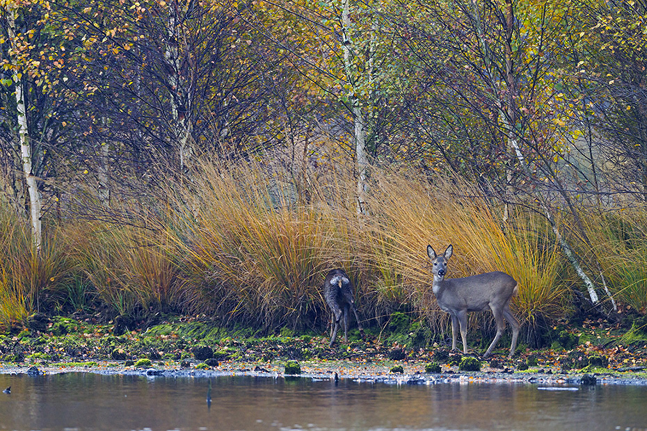Im Spaetherbst sucht eine Ricke mit einem diesjaehrigen Kitz am Ufer eines Moorsees nach Aesung, Capreolus capreolus, In late fall a Roe Deer doe with this years fawn is looking for food on the shore of a lake in a bog