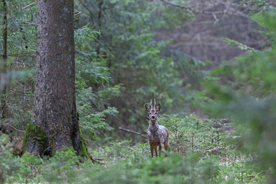 Ein Rehbock steht sichernd in einem Fichtenwald, die Fotografie von Rehen im Wald ist aeusserst schwierig und ist mit dem relativ leichten Fotografieren von Feldrehen nicht vergleichbar, Capreolus capreolus, A Roebuck stands securing in a spruce forest, the photography of Roe Deer in forests is extremely difficult and cannot be compared with the relatively easy photography of Roe Deer in fields
