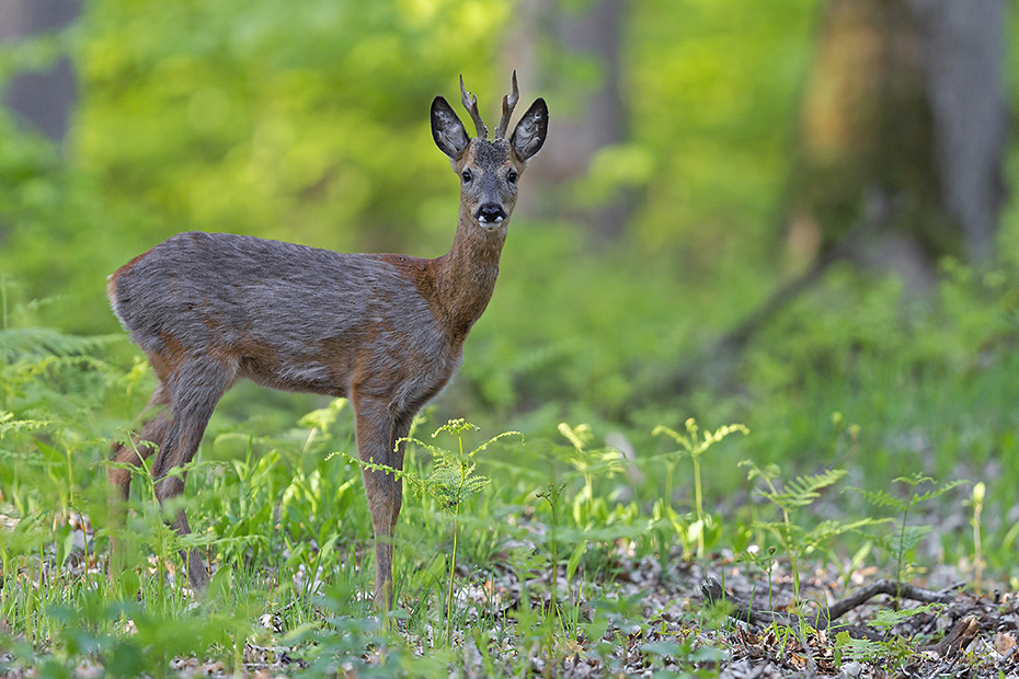 Eine Bewegung hat den Rehbock dazu bewogen wieder in die schuetzende Deckung zu wechseln, Capreolus capreolus, The movement has caused the Roebuck to go back towards the protective cover