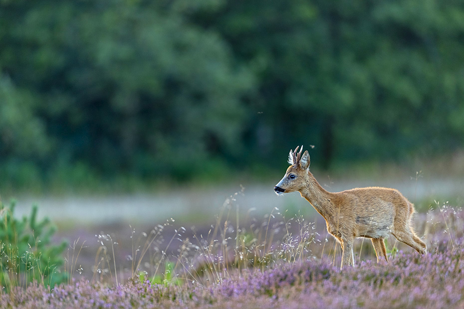 Ein Rehbock steht in bluehender Heide, ein Jahr zuvor konnte ich an fast gleicher Stelle meinen ersten daenischen Wolf fotografieren, Capreolus capreolus, A Roebuck stands in blooming heath, one year before I could photograph my first Danish Wolf at almost the same place