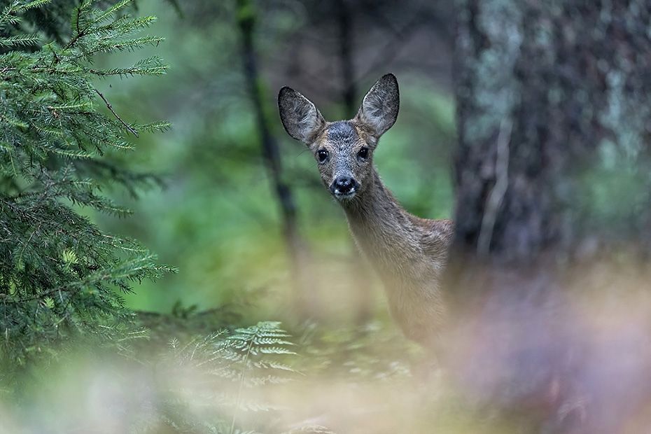 Unverhoffte Begegnung mit einem Rehkitz im Wald, das Erstaunen war in diesem Moment auf beiden Seiten, Capreolus capreolus, Unexpected encounter with a Roe Deer fawn in a forest, the astonishment was on both sides at that moment