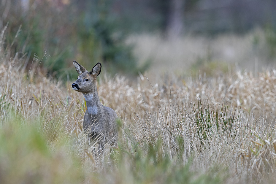 Die Ricke kann mich nicht entdecken, deshalb versucht sie durch drehen des Kopfes Witterung aufzunehmen, Capreolus capreolus, The Roe Deer doe cannot discover me, so she tries to catch a sense of smell by turning its head