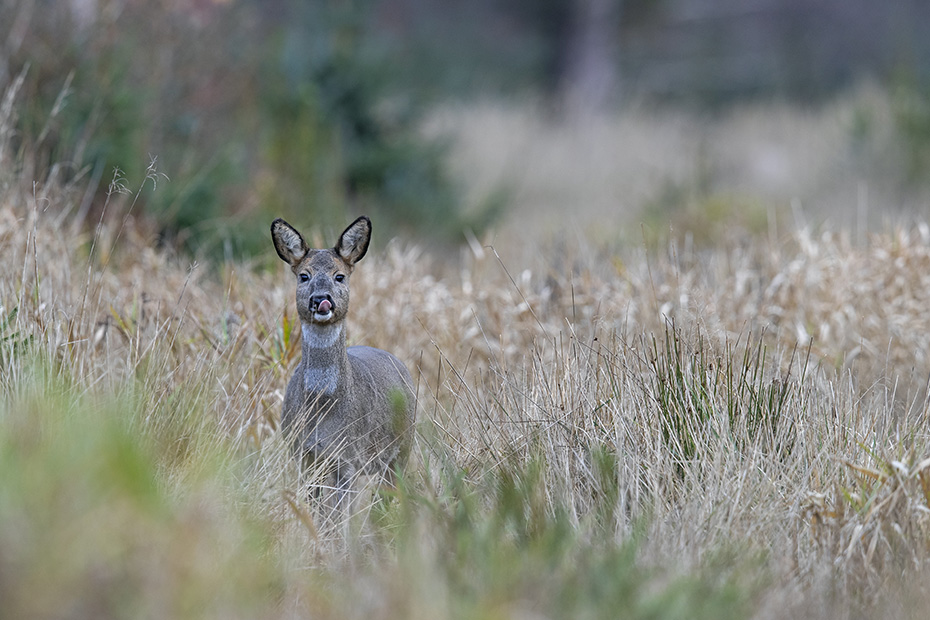 Die Ricke ergreift nicht die Flucht, sondern nimmt eine entspanntere Koerperhaltung ein, Capreolus capreolus, The Roe Deer doe does not flee, instead she takes a more relaxed posture