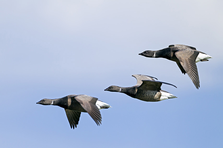 Ringelgans, die Maennchen sind etwas groesser als die Weibchen  -  (Rottgans - Foto Ringelgans Altvogel schwimmend), Branta bernicla, Brant Goose, the males are slightly larger than the females  -  (Brant - Photo Brent Goose swimming)