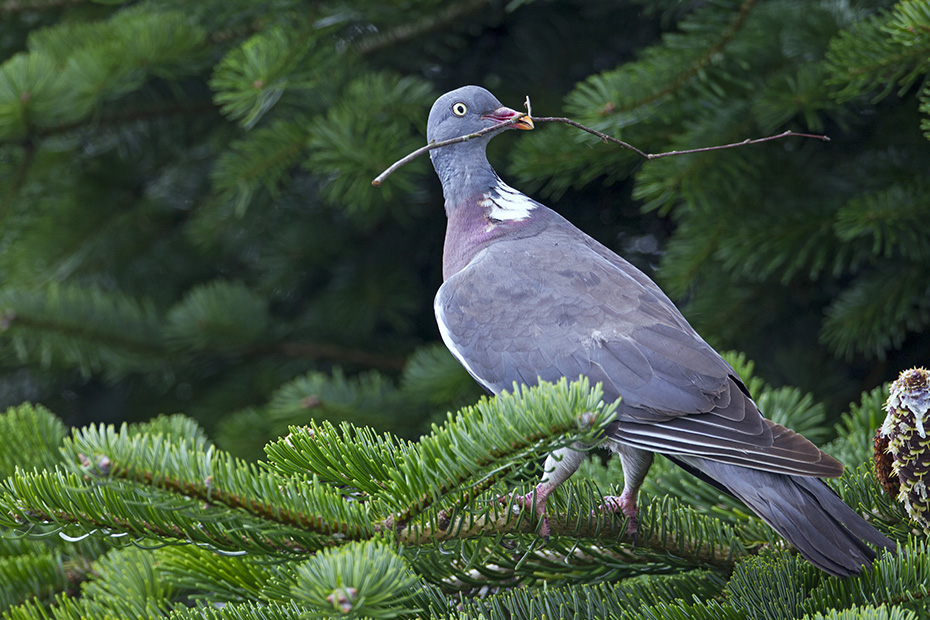 Ringeltauben legen im Schnitt 2 weisse Eier in ein einfach konstruiertes Nest - (Foto Jungvoegel am Nest), Columba palumbus, Common Wood Pigeon lays 2 white eggs in a simple nest - (Culver - Photo juvenile birds near the nest)