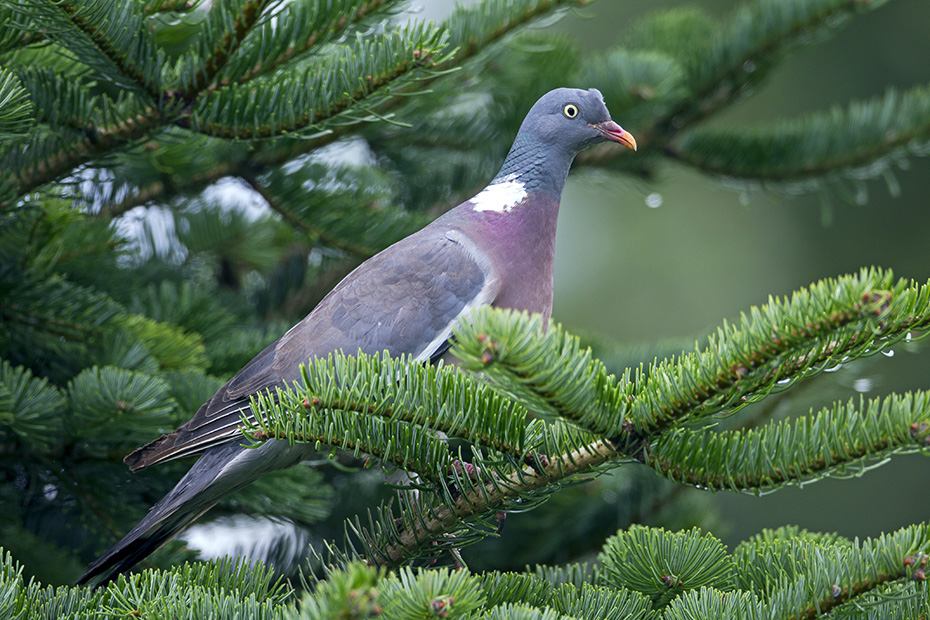 Ringeltaube, eine wiederholte Nutzung der Nester ist nicht ungewoehnlich - (Foto Altvogel), Columba palumbus, Common Wood Pigeon is often shot and can be a agricultural pest - (Culver - Photo adult bird)