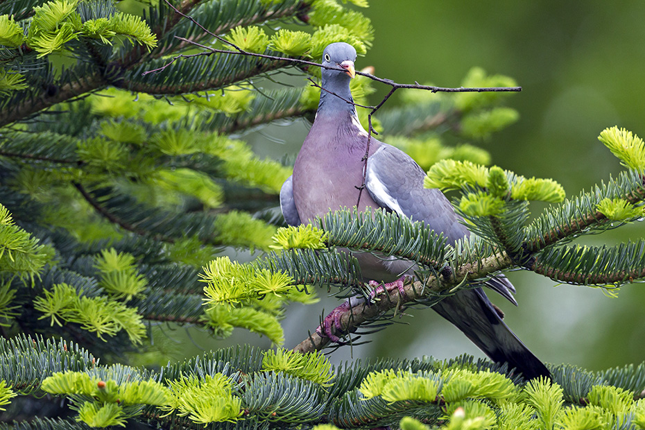 Ringeltauben ernaehren sich ueberwiegend von pflanzlicher Kost - (Foto Altvogel mit Nistmaterial), Columba palumbus, Common Wood Pigeon, most of its diet is vegetable - (Culver - Photo adult with nesting material)