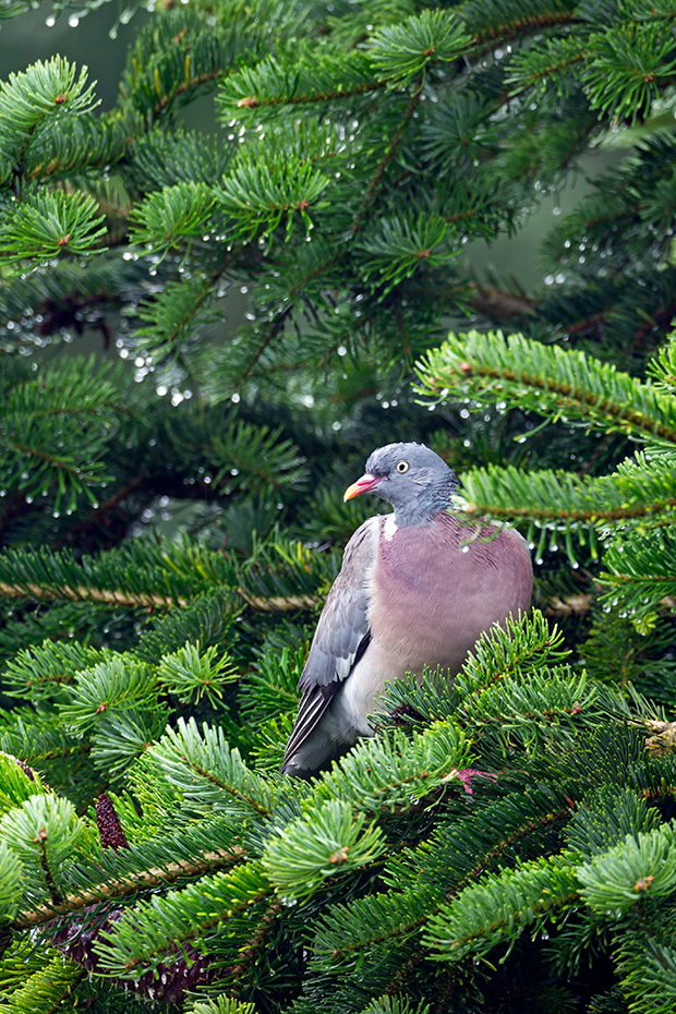 Ringeltaube, die Brutzeit betraegt 16 - 17 Tage - (Foto Altvogel), Columba palumbus, Common Wood Pigeon, the incubation lasts between 16 to 17 days - (Culver - Photo adult bird)