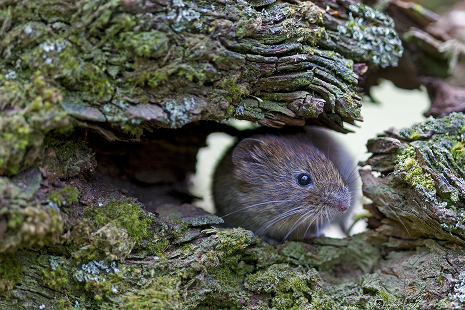 Roetelmaeuse sind typische Waldbewohner  -  (Waldwuehlmaus - Foto Roetelmaus in einer Baumwurzel), Myodes glareolus, Bank Voles live in woodland areas with dense vegetation  -  (Photo Bank Vole in the root of a tree)