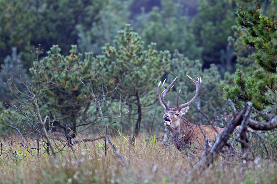 Rothirsche koennen in freier Wildbahn ein Alter von 10 - 15 Jahren erreichen  -  (Rotwild - Foto roehrender Rothirsch), Cervus elaphus, Red Deer, in the wild they live 10 to 15 years  -  (Photo roaring Red stag)