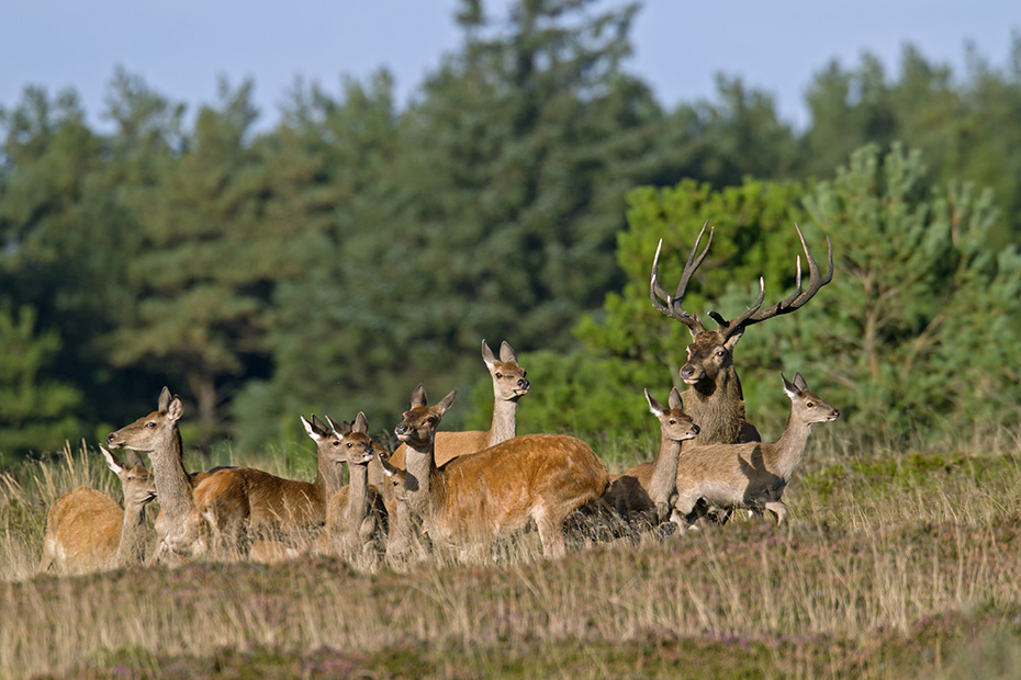 Rothirsch, spaetestens Ende August, kurz vor dem Beginn der Brunft, loesen sich die Hirschrudel auf  -  (Edelwild - Foto Rothirsch mit Kahlwildrudel), Cervus elaphus, Fallow Deer, in late August, as the rut approaches, the male herds break up  -  (Photo Red Deer male with females and calves)