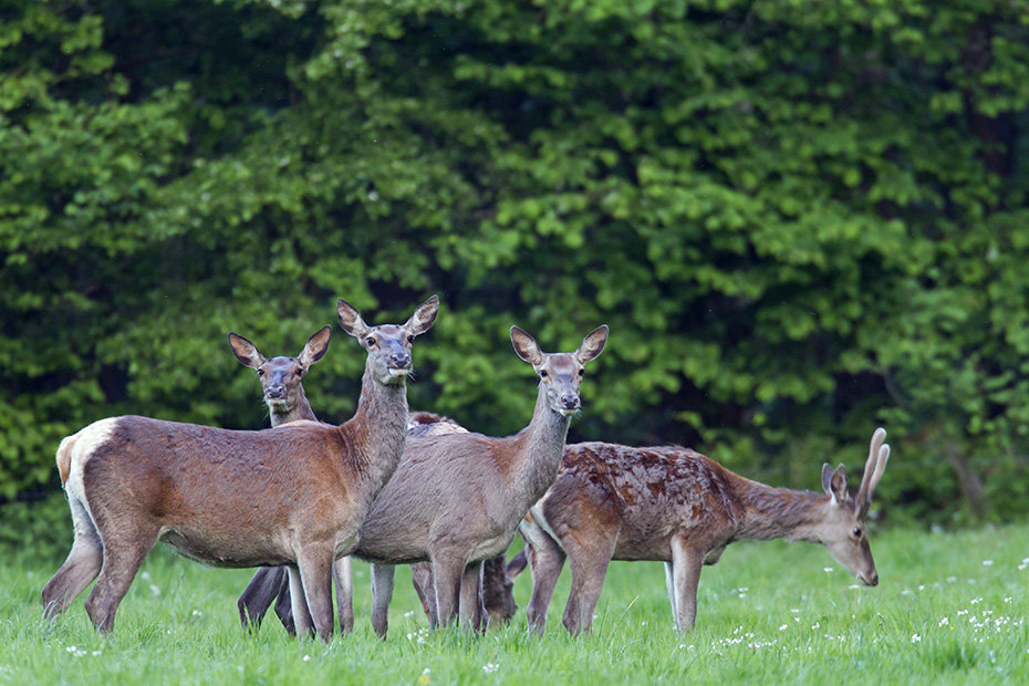 Rothirsch, viele Hirsche weisen nach der Brunft Verletzungen auf  -  (Edelhirsch - Foto Rottiere und Spiesser verlieren das Winterfell), Cervus elaphus, Red Deer, many stags are injured after rutting  -  (Photo Red Deer females and brocket lose their winter coat)