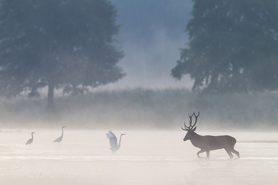 Rothirsch, die Kaelber werden Mitte Mai und im Juni geboren  -  (Edelwild - Foto Rothirsch begegnet Silberreihern in einem Teich), Cervus elaphus, Red Deer, the calves are born in May and June  -  (Photo Red stag and Great Egret in a pond)