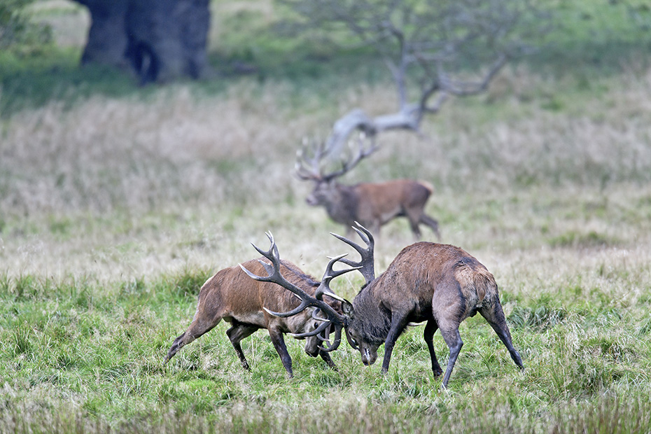 Rothirsche koennen in freier Wildbahn ein Alter von 10 - 15 Jahren erreichen  -  (Foto Waehrend des Kampfes uebernimmt ein dritter Hirsch das Rudel), Cervus elaphus, Red Deer, in the wild they live 10 to 15 years  -  (Photo Red stags fighting)