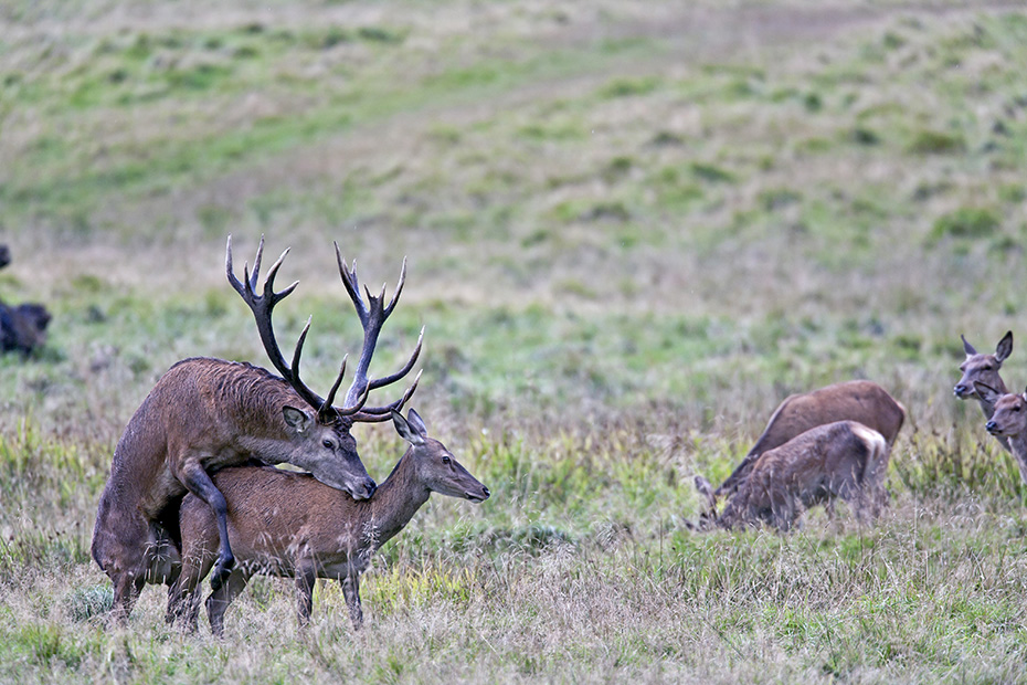 Rothirsche sind Wiederkaeuer, deren Magen aus vier Kammern besteht  -  (Edelhirsch - Foto Rothirsch und Rottier bei der Paarung, auch Hischsprung genannt), Cervus elaphus, Red Deer is a ruminant with a four-chambered stomach  -  (Photo Red Deer mating)