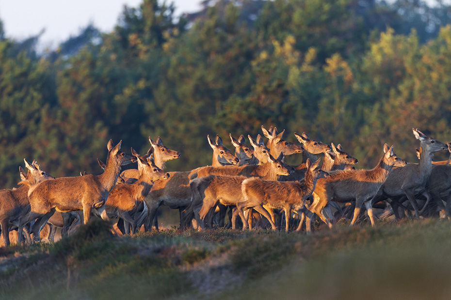Rotwildrudel im fruehen Licht der Morgensonne in einer Heidelandschaft, Cervus elaphus, Red Deers in the early light of the morning sun