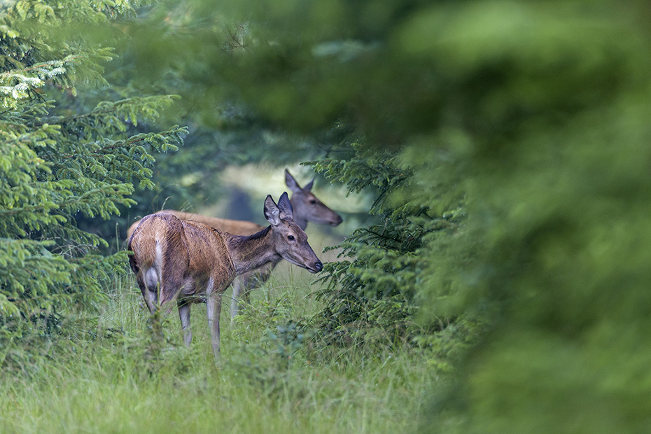 Entspannt aesen zwei Rottiere in der Brunft auf einer Waldschneise, Cervus elaphus, Two Red Deer hinds graze during the mating season on a forest aisle