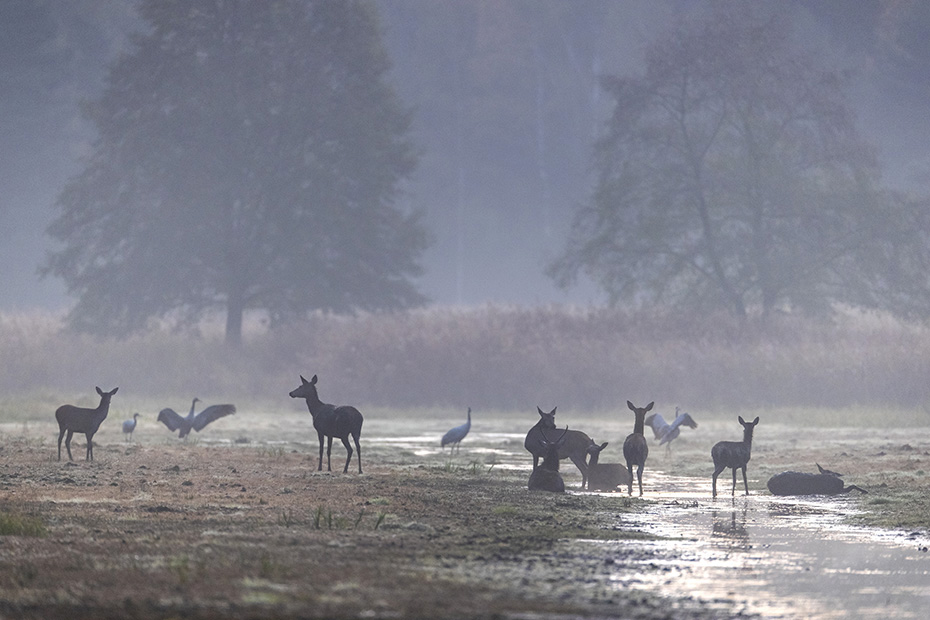 Waehrend einige Tiere des Rotwildrudels suhlen, beobachten andere Rudelmitglieder wachsam die Umgebung, Cervus elaphus, While some animals of the Red Deer herd wallow, other animals watch carefully the surroundings