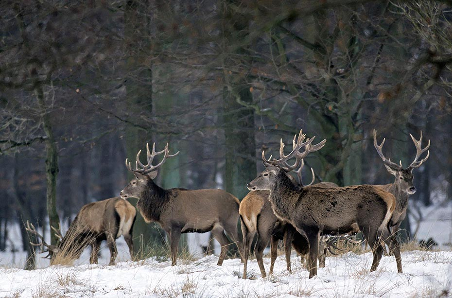 Rothirsch bis zum Beginn der Brunft aendert sich die soziale Rangordnung in einem Hirschrudel mehrmals - (Foto Rothirschrudel im Winter), Cervus elaphus, Red Deer is one of the largest deer species - (Photo Red Deer stags in winter)