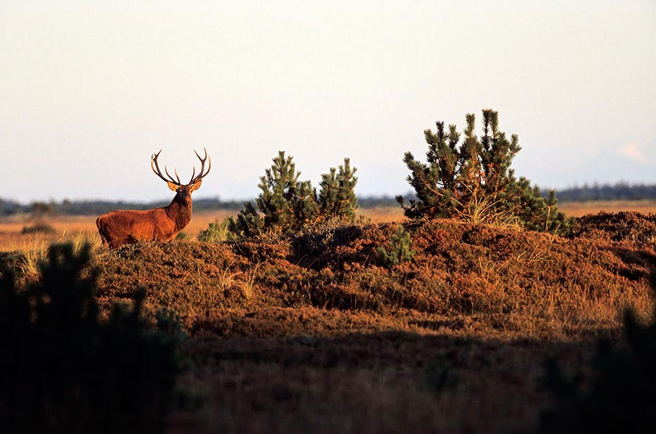 Rothirsch durch verschiedene Verhaltensweisen wird die soziale Rangordnung im Hirschrudel festgelegt - (Foto Rothirsch im Abendlicht), Cervus elaphus, Red Deer is one of the largest deer species - (Photo Red Deer stag in the rut)