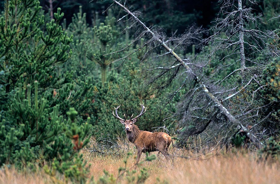 Rothirsch den Maennchen waechst vor der Brunft eine deutlich sichtbare Brunftmaehne - (Foto Rothirsch), Cervus elaphus, Red Deer the males grow a neck mane during end of summer - (Photo stag)