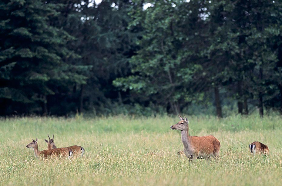 Rotwild gehoert zu den groessten Vertretern aus der Familie der Hirsche - (Foto Rottier und Damwild), Cervus elaphus - Dama dama, Red Deer is one of the largest deer species - (Photo Red Deer hind and Fallow Deers)