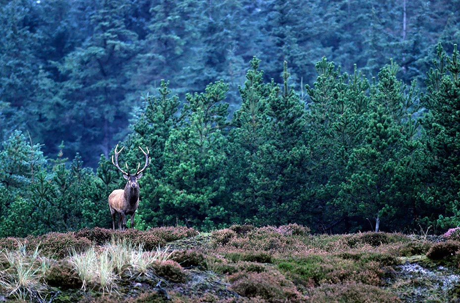 Rothirsch, die heute ueblichen Jagdmethoden sind die Ansitzjagd und die Drueckjagd - (Foto Rothirsch in der Brunft), Cervus elaphus, Red Deer is one of the largest deer species - (Photo Red Deer stag in the rut)