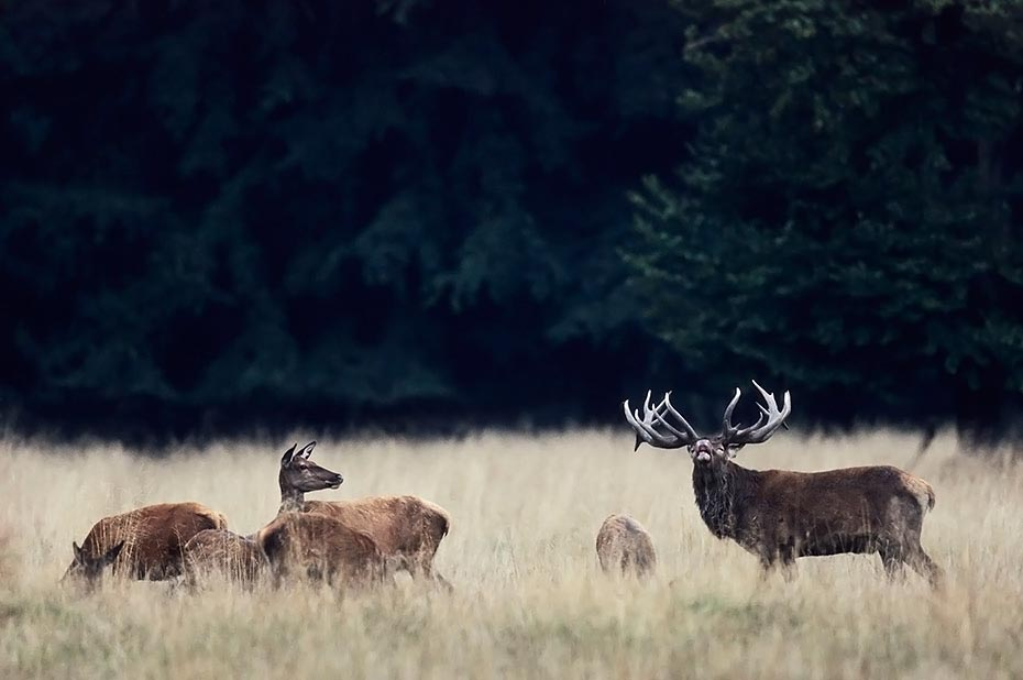 Rothirsch, den Maennchen waechst vor der Brunft eine deutlich sichtbare Brunftmaehne - (Foto Platzhirsch flehmt und Kahlwildrudel), Cervus elaphus, Red Deer the males grow a neck mane during end of summer - (Photo stag flehmimg between hinds and calves)