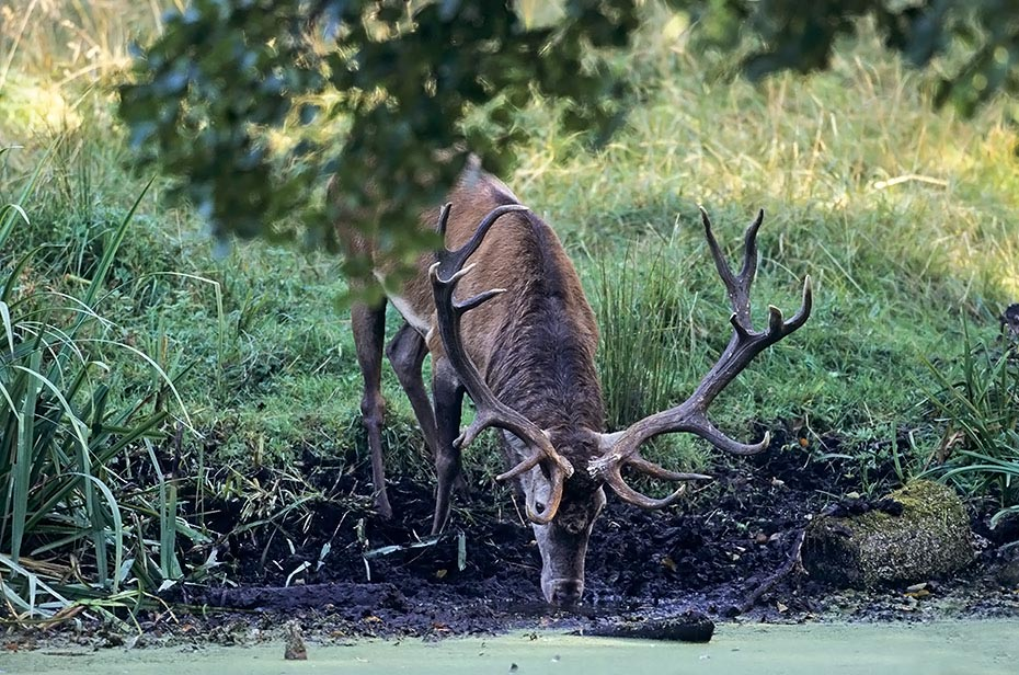Rothirsch, maennliche Tiere verlieren in der Brunft erheblich an Koerpergewicht - (Foto Rothirsch schoepft Wasser), Cervus elaphus, Red Deer is one of the largest deer species - (Photo Red Deer stag drinking)