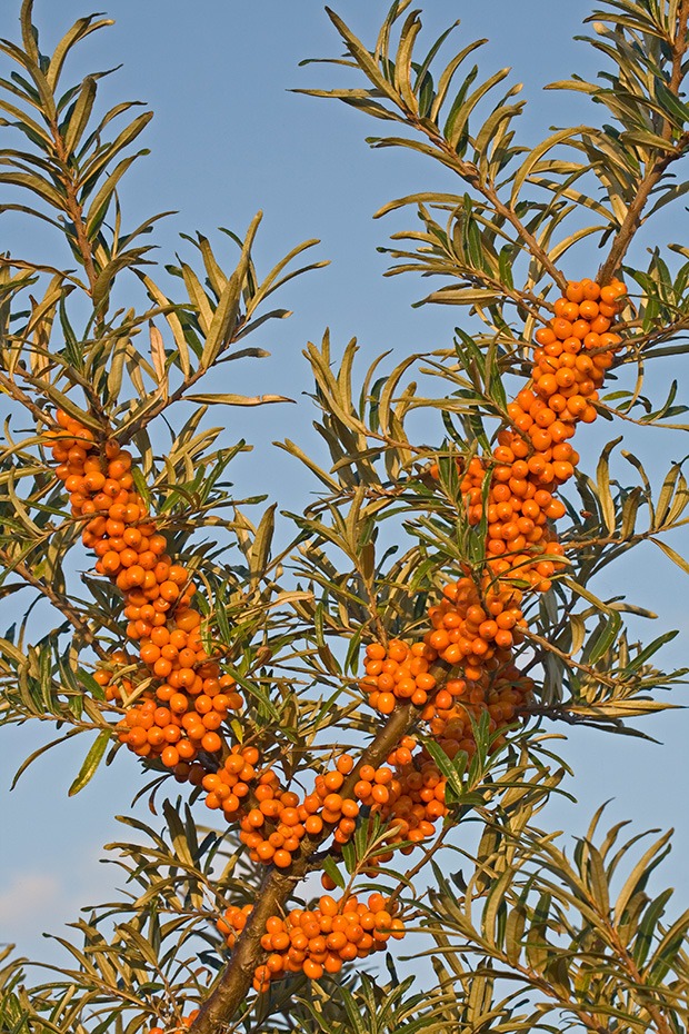 Gemeiner Sanddorn ist an der Schleswig-Holsteinischen Nordseekueste haeufig anzutreffen  -  (Duenendorn - Foto reife Fruechte), Hippophae rhamnoides, Common Seabuckthorn is resistent to wind and frost, tolerates salty soils and has a wide-reaching root system  -  (Seabuckthorn - Photo maturity fruits)