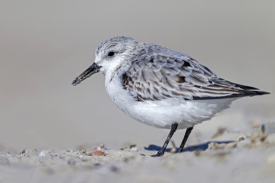 Sanderling, seine Brutgebiete liegen im arktischen Norden Europas, Nordamerikas und Asiens  -  (Foto Winterkleid), Calidris alba, Sanderling breeds in the High Arctic regions of Europe, North America and Asia  -  (Photo winter plumage)